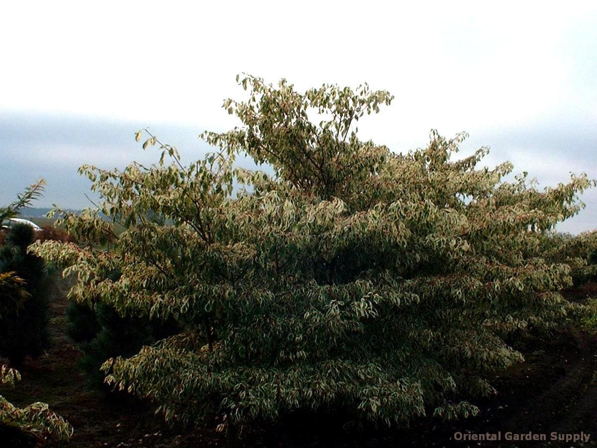 Clethra alnifolia 'Sherry Sue'