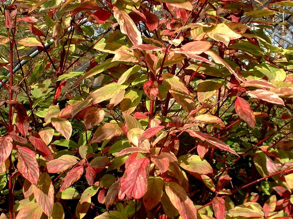 Cornus sericea 'Hedgerow's Gold'