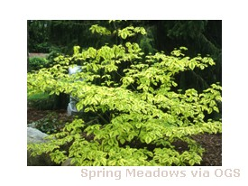 Cornus alternifolia 'Golden Shadows'