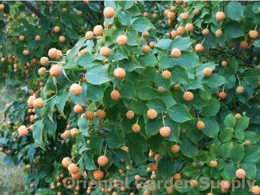 Cornus kousa chinensis 'Mandarin Jewel'