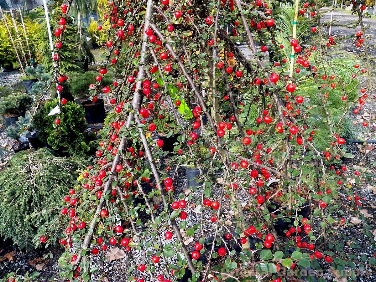 Cotoneaster apiculatus