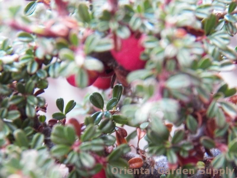 Cotoneaster microphyllus 'Thymifolius'