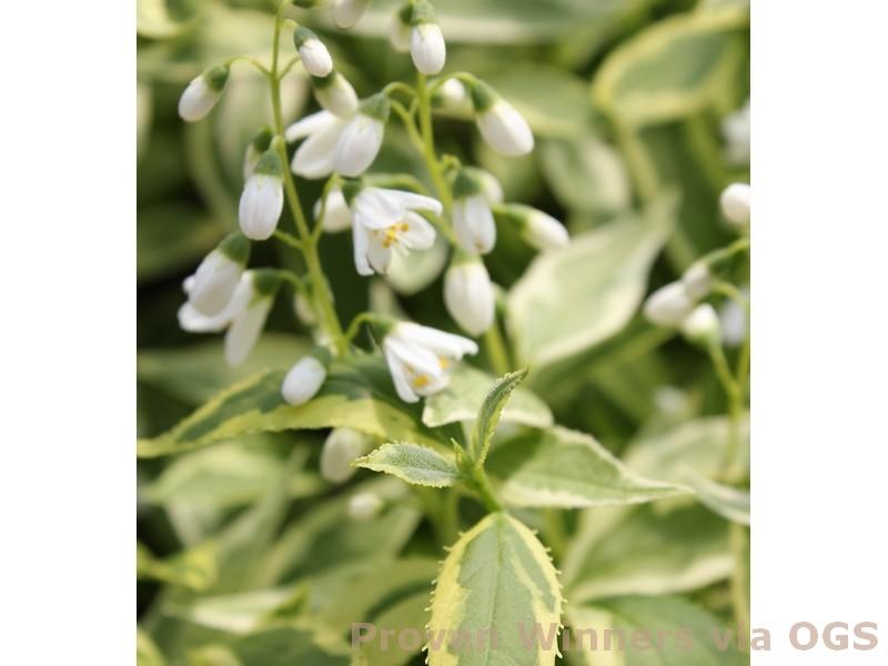 Deutzia gracilis 'Creme Fraiche'