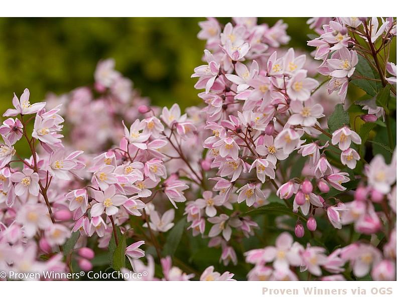 Deutzia 'Yuki Cherry Blossom'