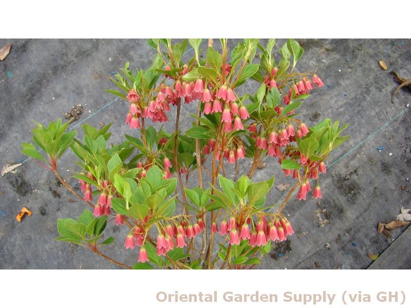 Enkianthus campanulatus 'Very Red'