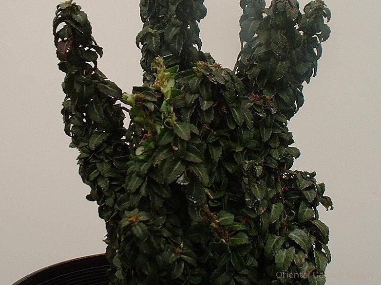 Euonymus japonica 'Rokujo'