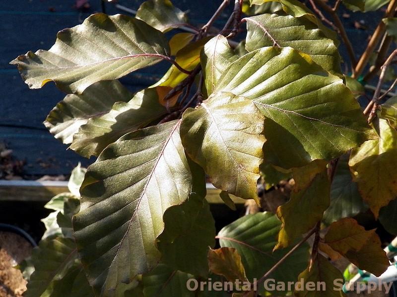 Fagus sylvatica 'Tortuosa Purpurea'