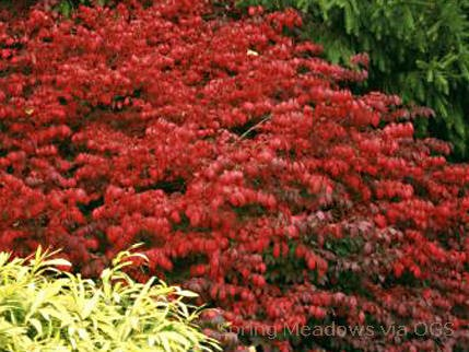 Euonymus alata 'Fire Ball'