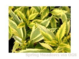 Forsythia viridissima 'Citrus Swizzle'