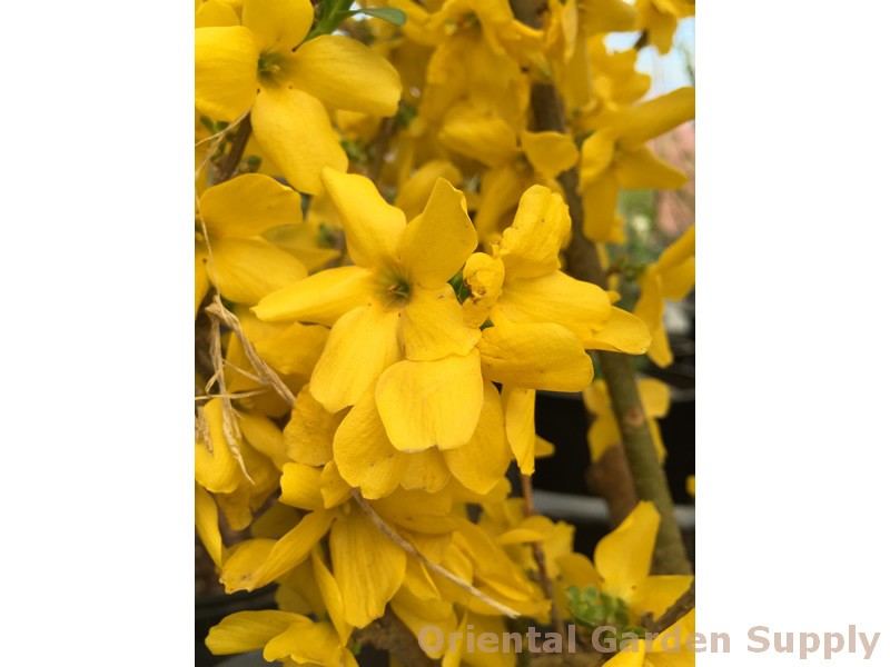 Forsythia x intermedia 'Show Off'