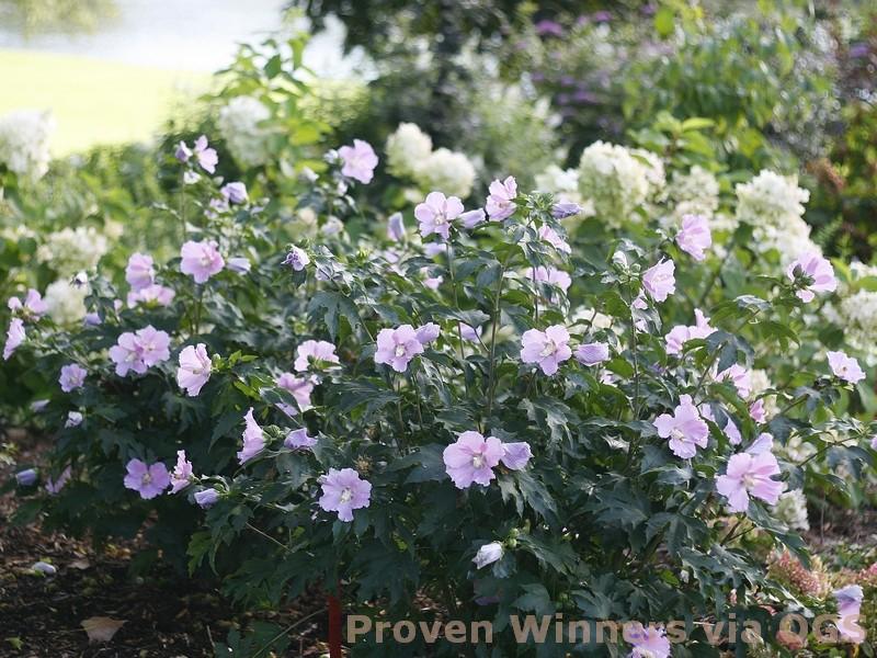 Hibiscus x 'Pollypetite'