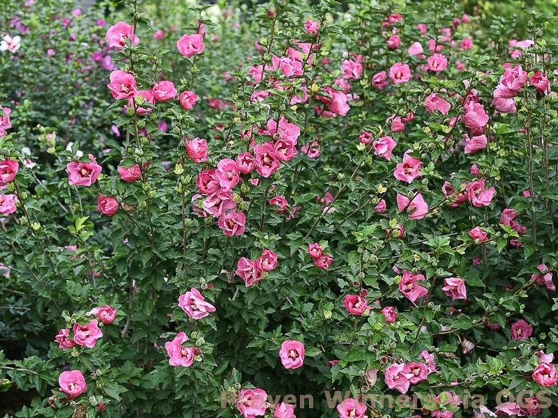 Hibiscus syriacus 'Ruffled Satin'
