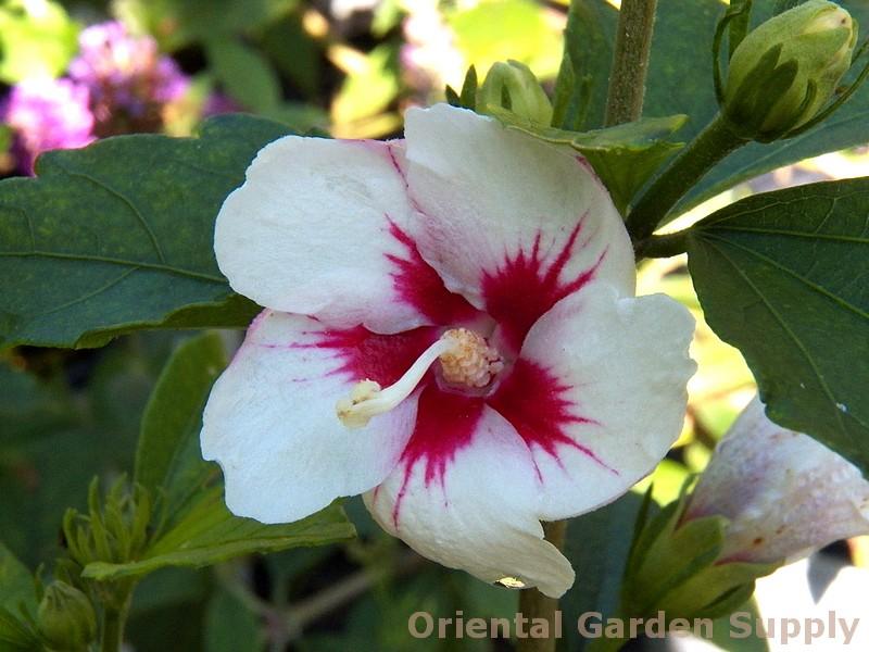 Hibiscus syriacus 'Lil' Kim'