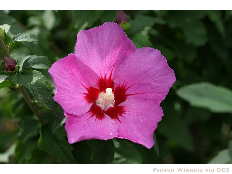 Hibiscus syriacus 'Lil' Kim Violet'