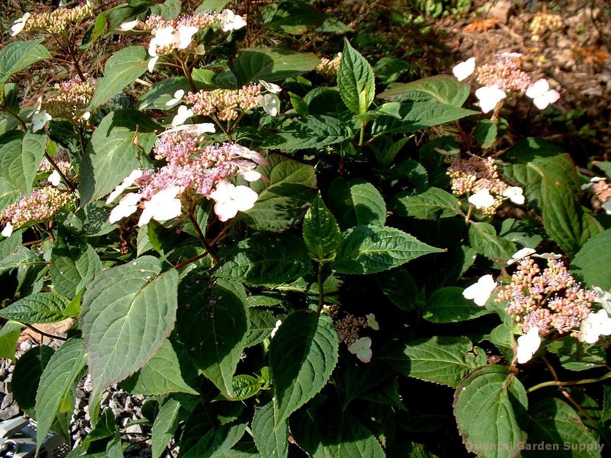 Hydrangea macrophylla var. serrata 'Beni Gaku'