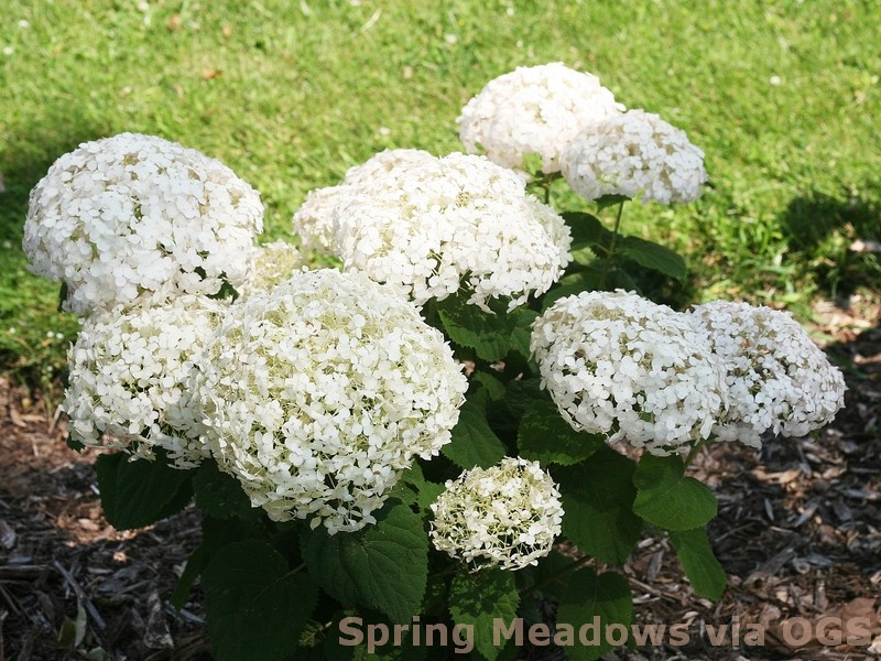 Hydrangea arborescens 'Invincibelle Wee White'