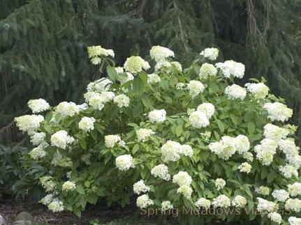 Hydrangea paniculata 'Little Lamb'