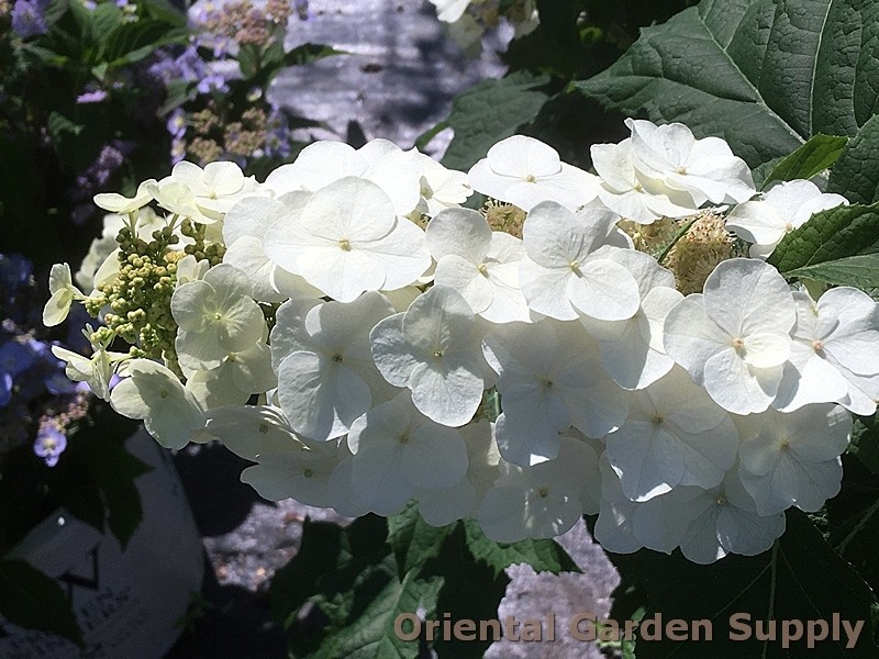 PO_Hyd_quer_Snow_Queen_IMG_4956