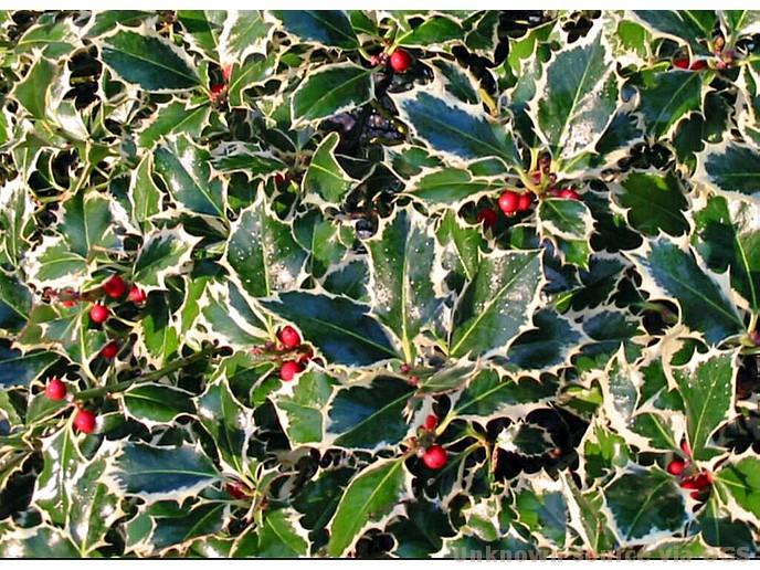 Ilex aquifolium 'Aureomarginata'