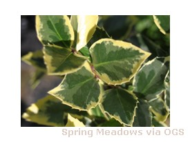 Ilex meservaea 'Honey Maid'
