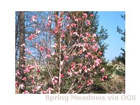 Magnolia liliiflora x sprengen 'Galaxy'