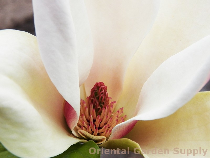Magnolia x 'Sunsation'