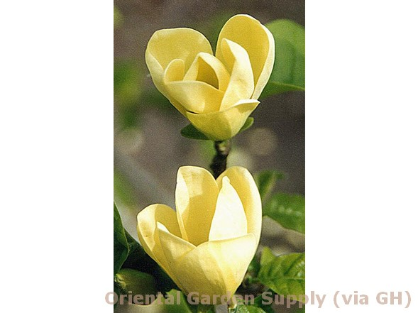 Magnolia acuminata 'Yellow Bird'