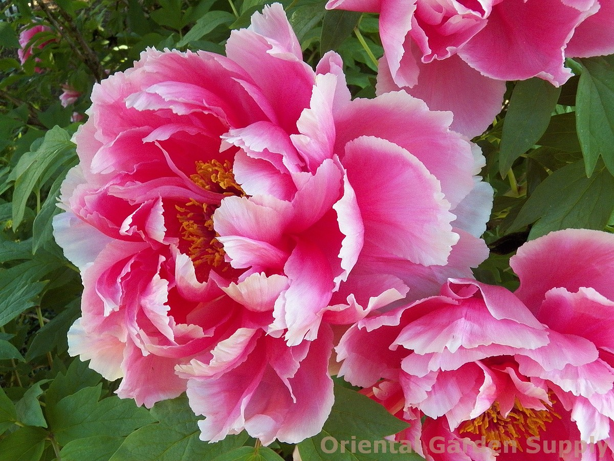 Paeonia suffruticosa - assorted