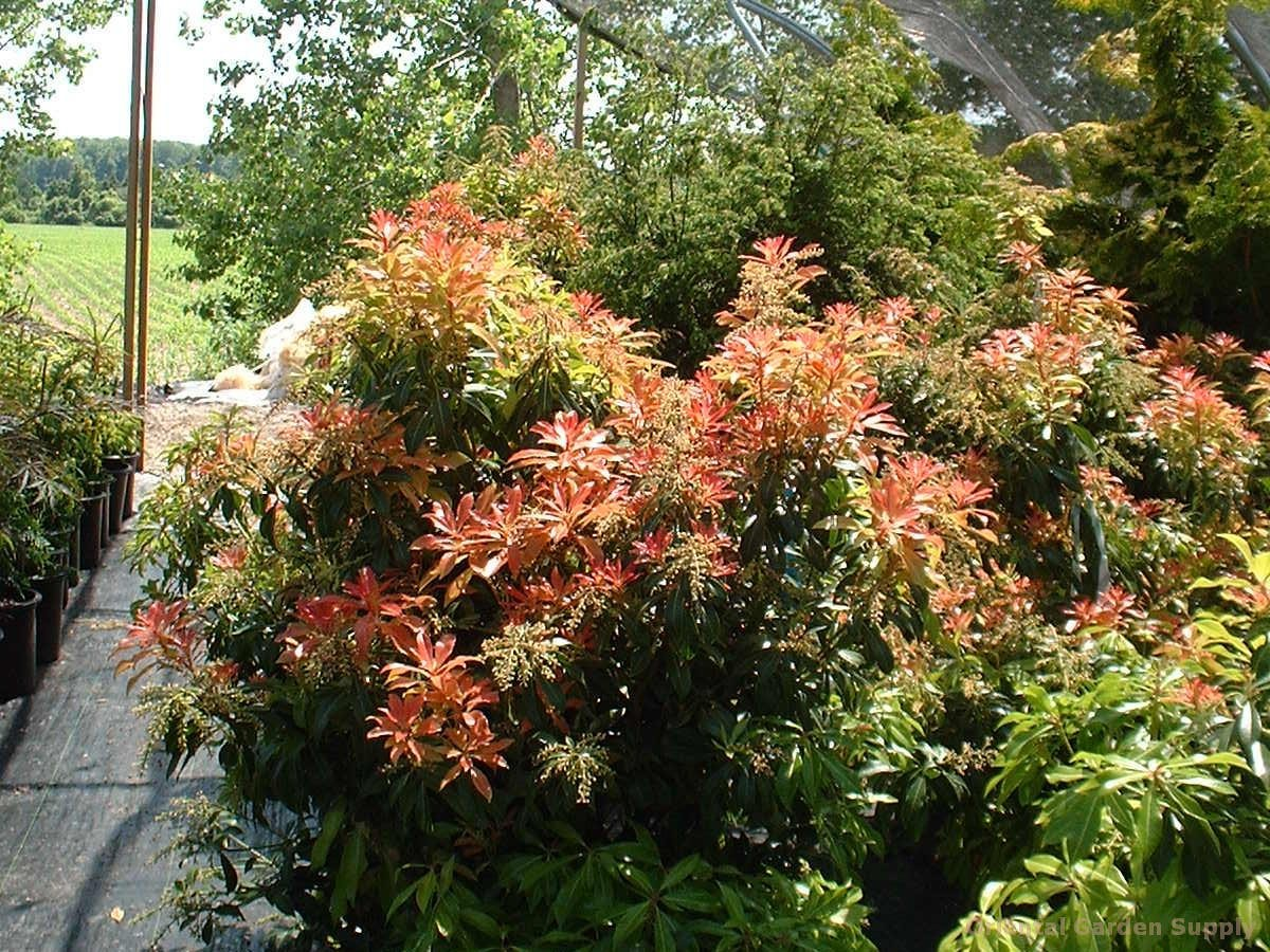 Pieris japonica 'Forest Flame'