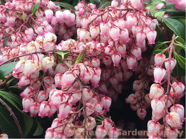 Pieris japonica 'Katsura'