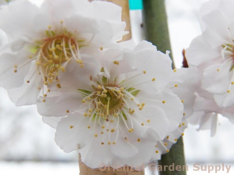 Prunus mume 'Omoi-no-mama'