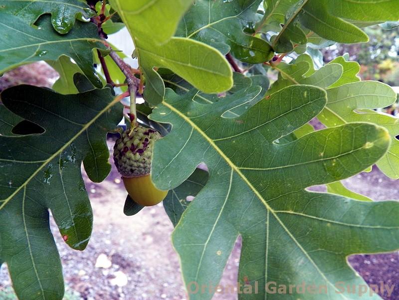 Quercus alba x robur 'Crimson Spire'