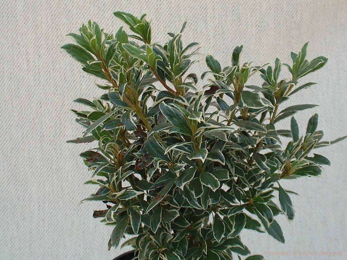 Rhododendron x 'Brianne'