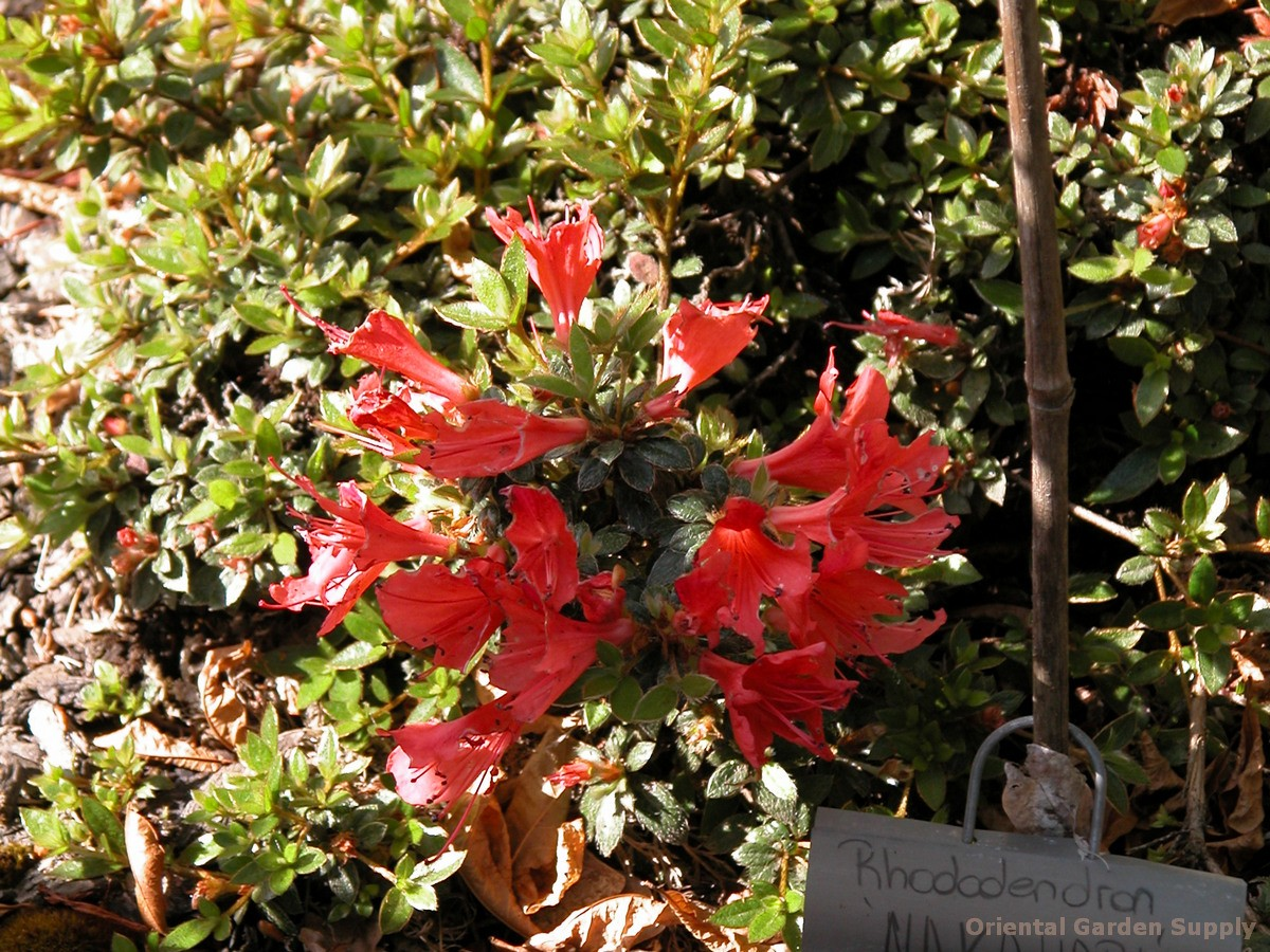 Rhododendron nakaharae 'Pink ES'
