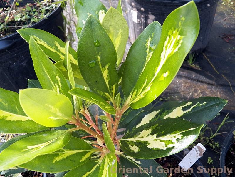Rhododendron x 'Gold Flimmer'