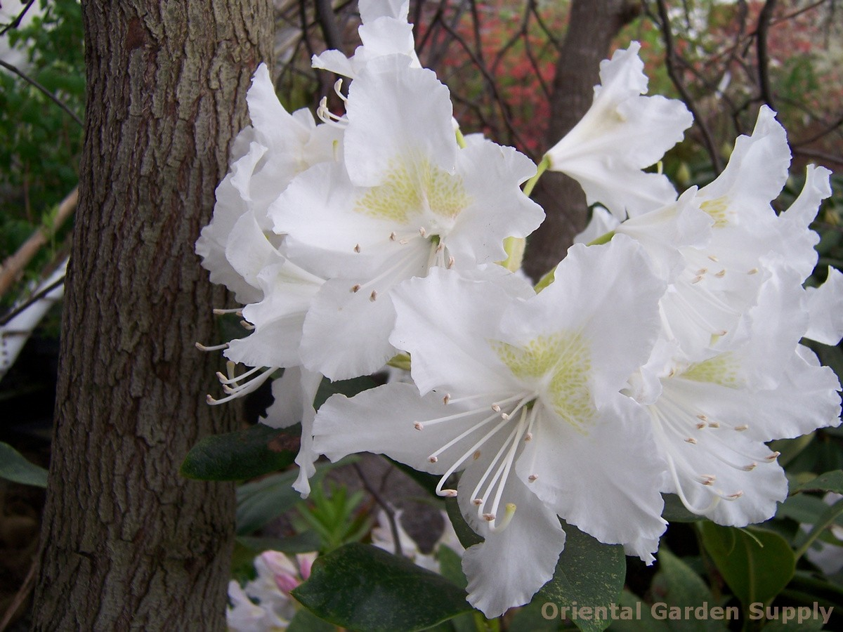 Rhododendron catawbiense 'Chionoides'