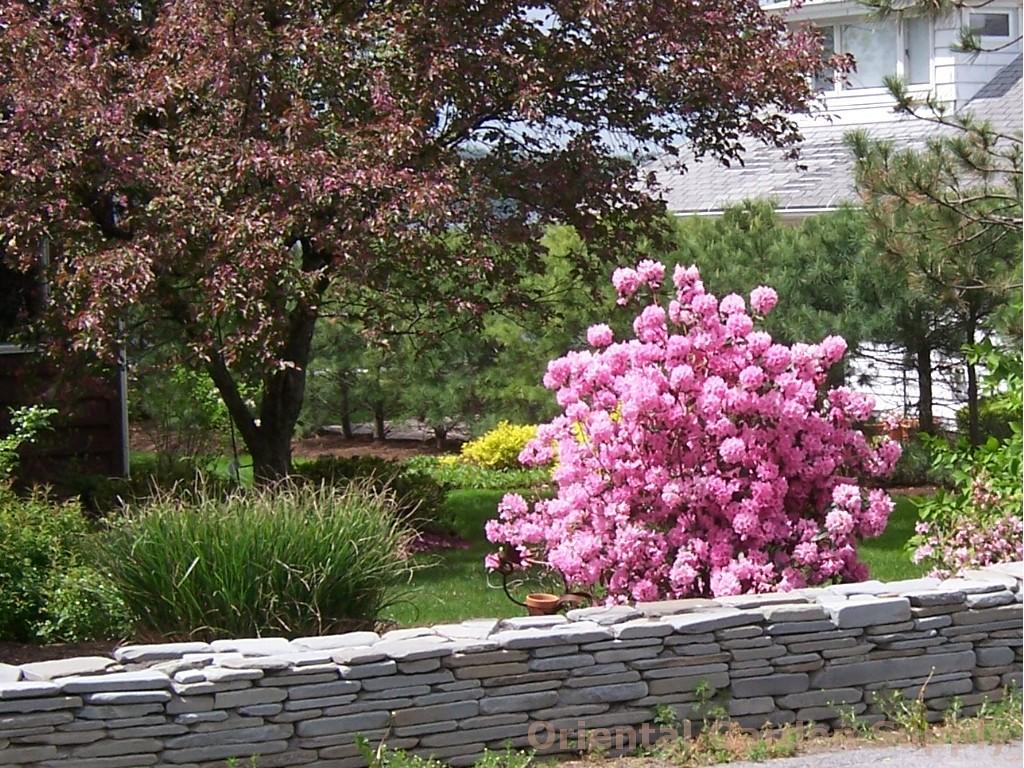 Rhododendron PJM 'Aglo'