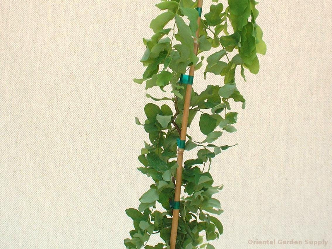 Robinia pseudoacacia 'Twisty Baby'