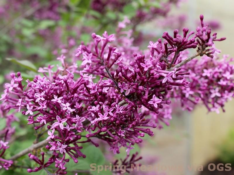 Syringa x 'Bloomerang Dark Purple'