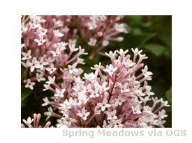 Syringa x 'Sugar Plum Fairy'