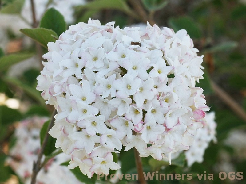 Viburnum carlesii 'Spice Baby'