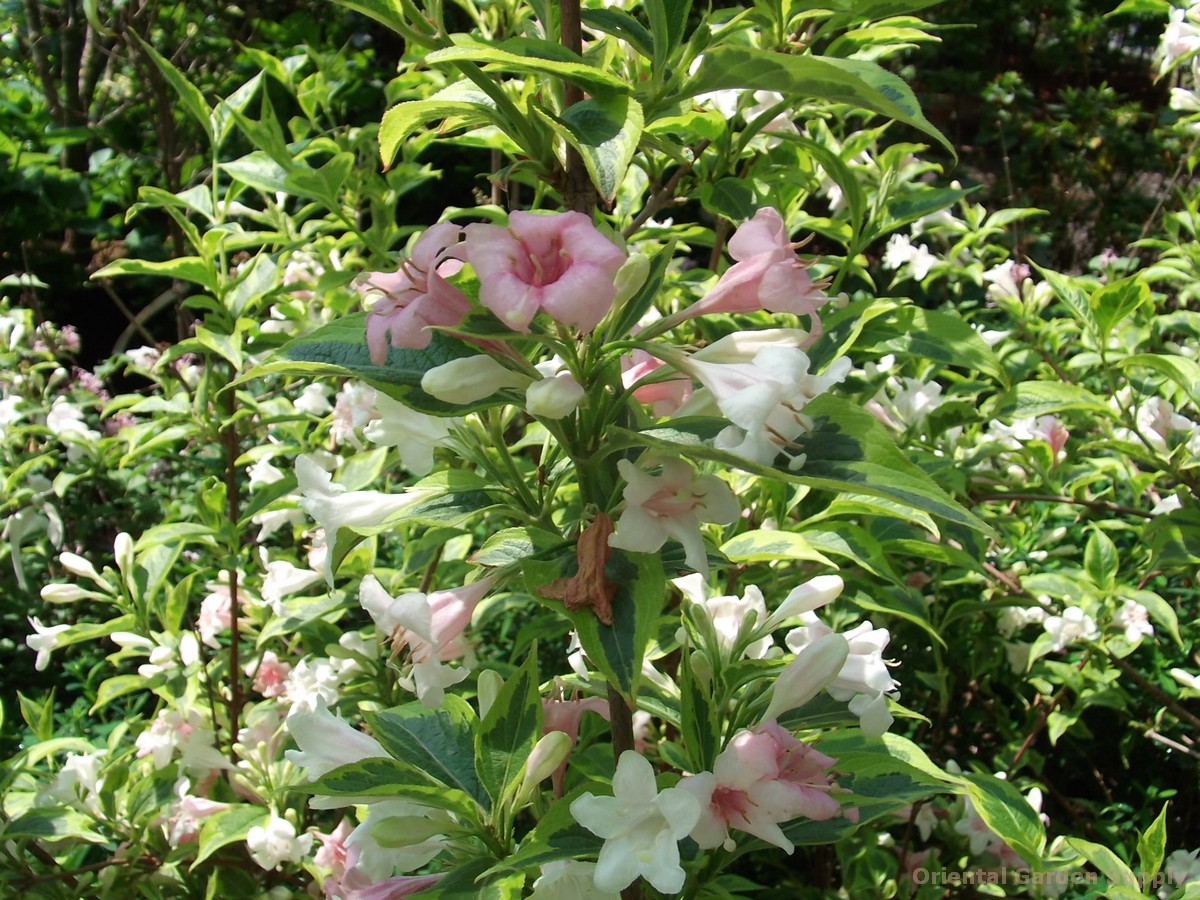 Weigela florida 'Brotzman's Select'
