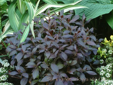Weigela florida 'Midnight Wine'