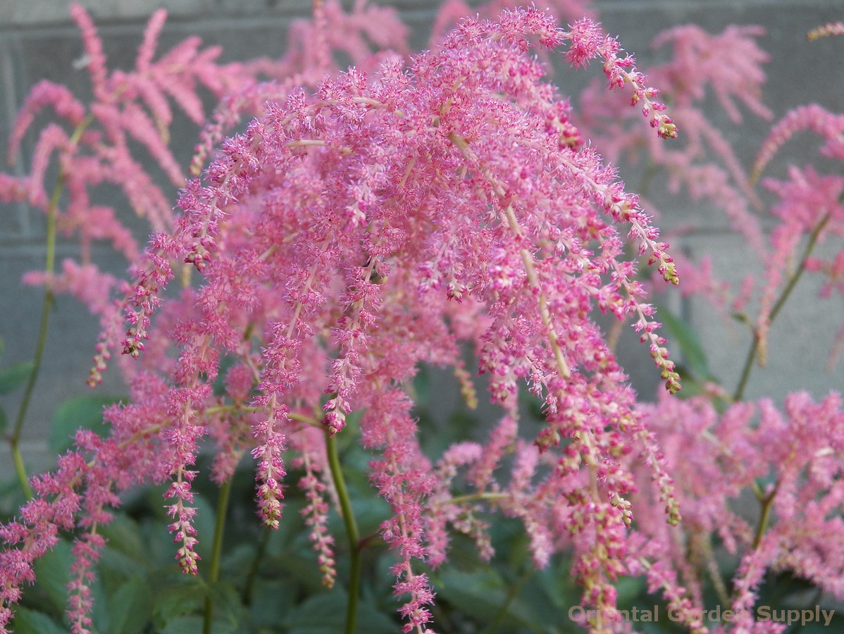 Astilbe 'Ostrich Plume'