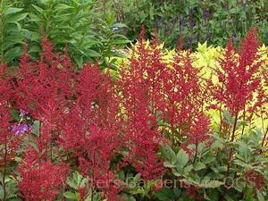 Astilbe x japonica 'Red Sentinel'