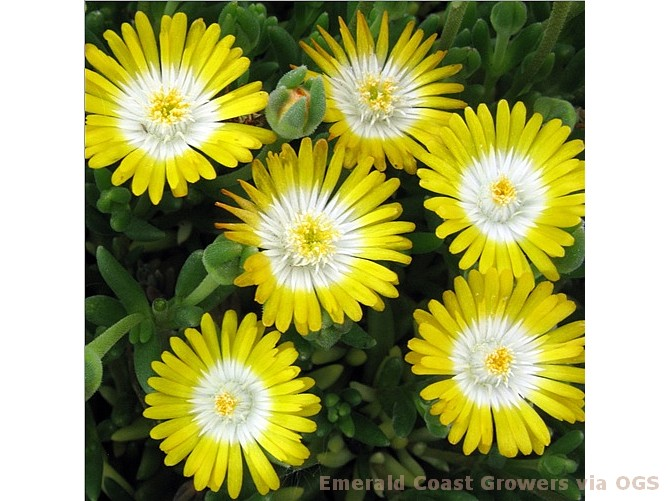 Delosperma 'Jewel of the Desert Peridot'