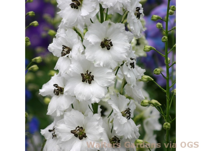 Delphinium 'Black Eyed Angels'