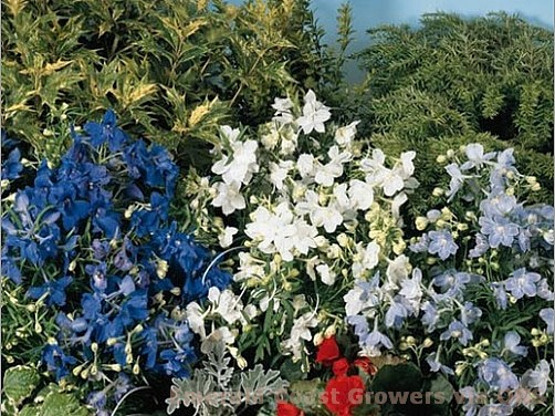 Delphinium grandiflorum 'Summer Colors'