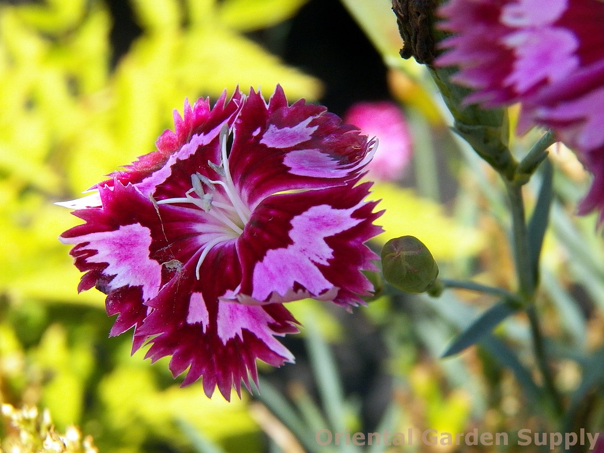 Dianthus 'Cranberry Ice'