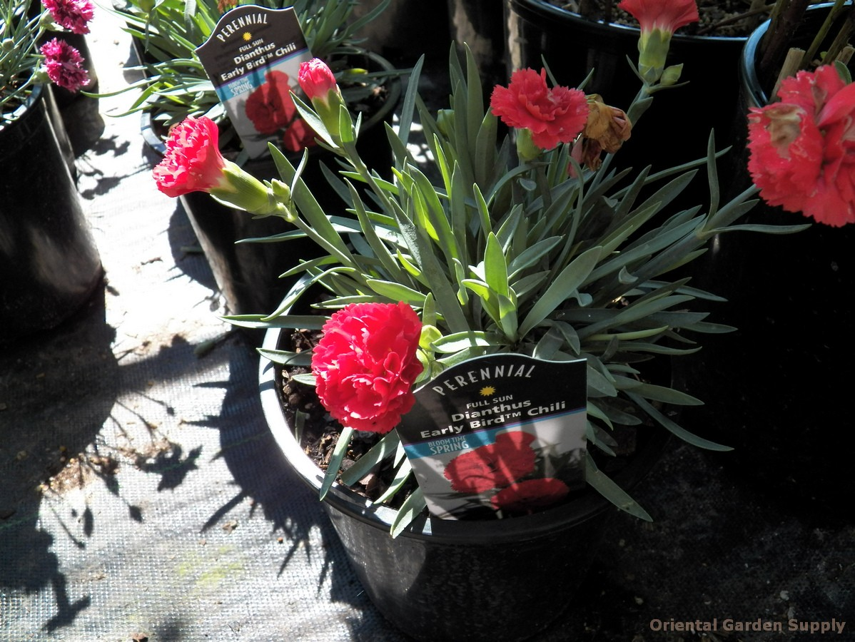 Dianthus 'Early Bird Chili'